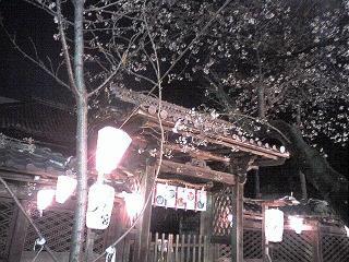 那古野神社の桜は五分咲き